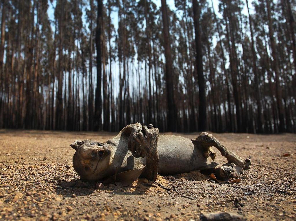 Miliaran Flora & Fauna Australia Hilang Akibat Kebakaran