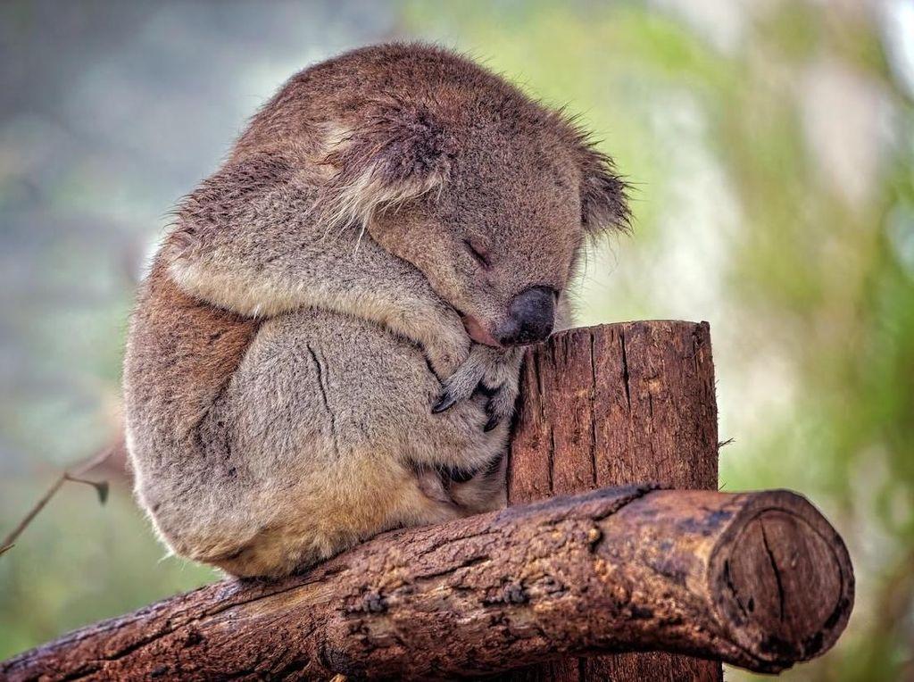 Puluhan Koala Ditemukan Mati Akibat Penebangan Hutan di Australia