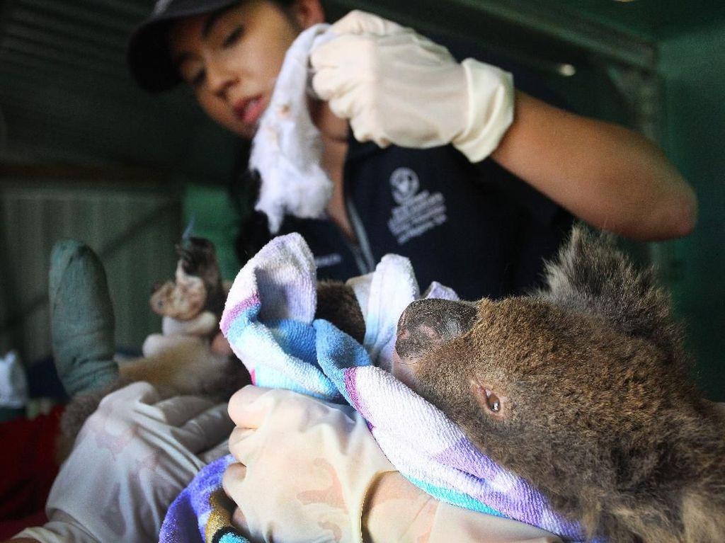 Kasihan Koala...