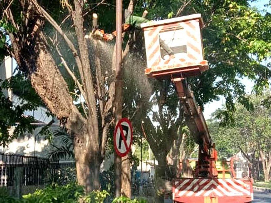 Weekend Ini Pohon 40 Tahun di Surabaya Bakal Dibuat Ramping