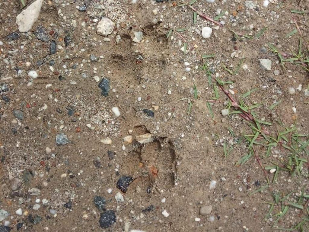 Viral Jejak Harimau di Bengkalis, Setelah Dicek Ternyata Tapak Tapir