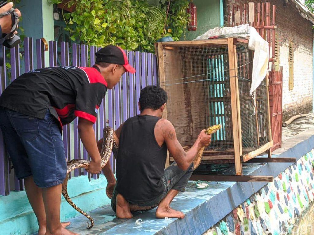 Sanca Pemangsa Ikan Warga Mojokerto Tertangkap, Beratnya 10 Kg
