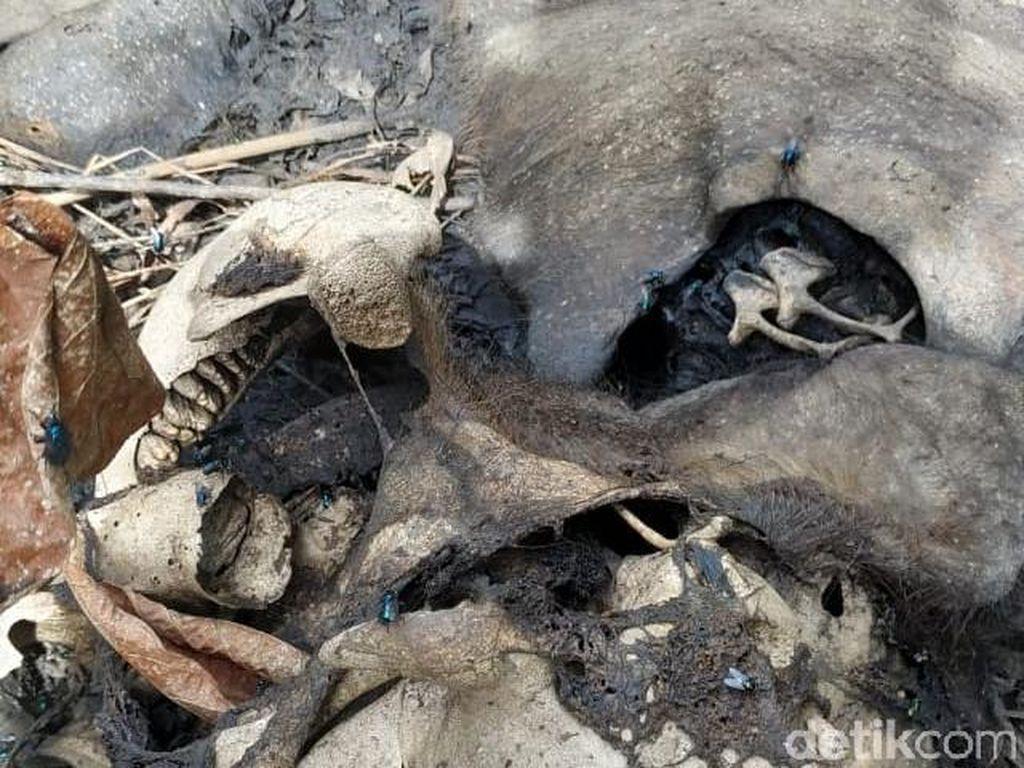 Bangkai Bayi Gajah Ditemukan Tinggal Tulang di Aceh
