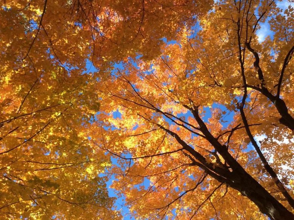 Potret Taman Pohon Maple Saat Musim Gugur