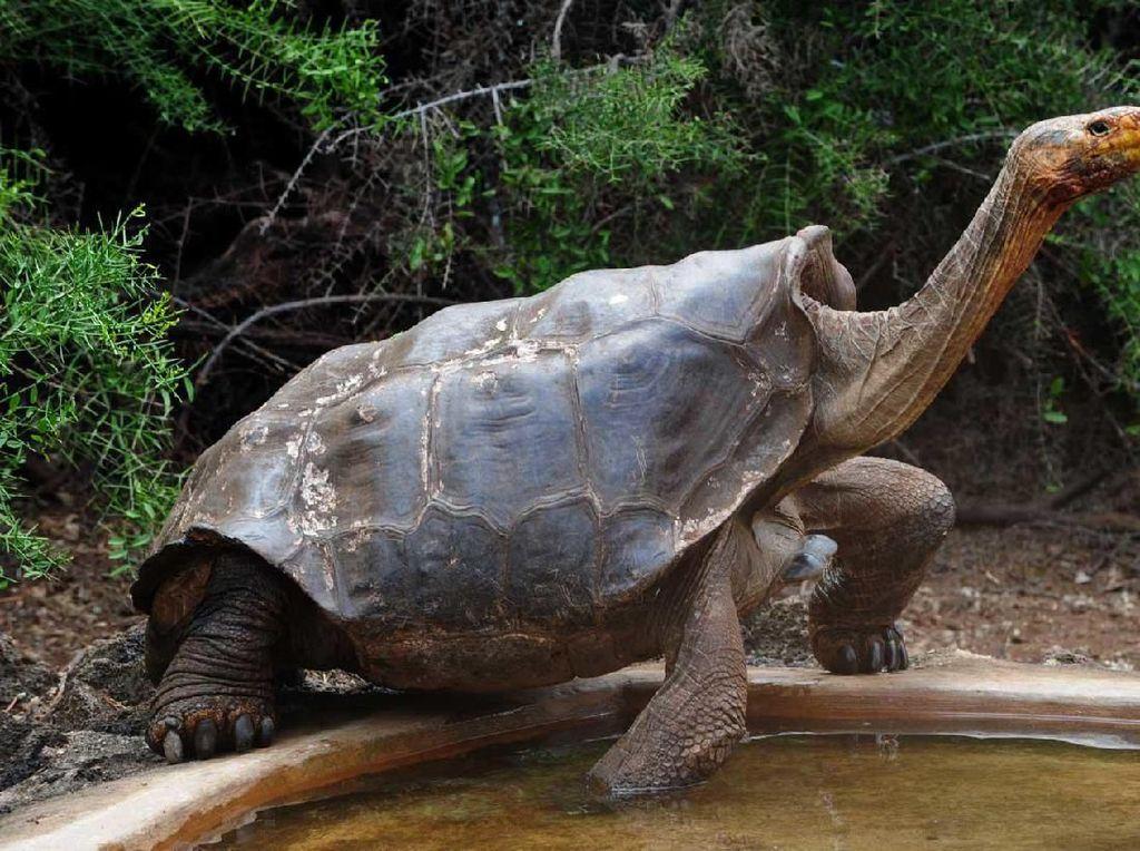 Kisah Diego, Kura-kura Raksasa yang Mau Pensiun dari Bonbin