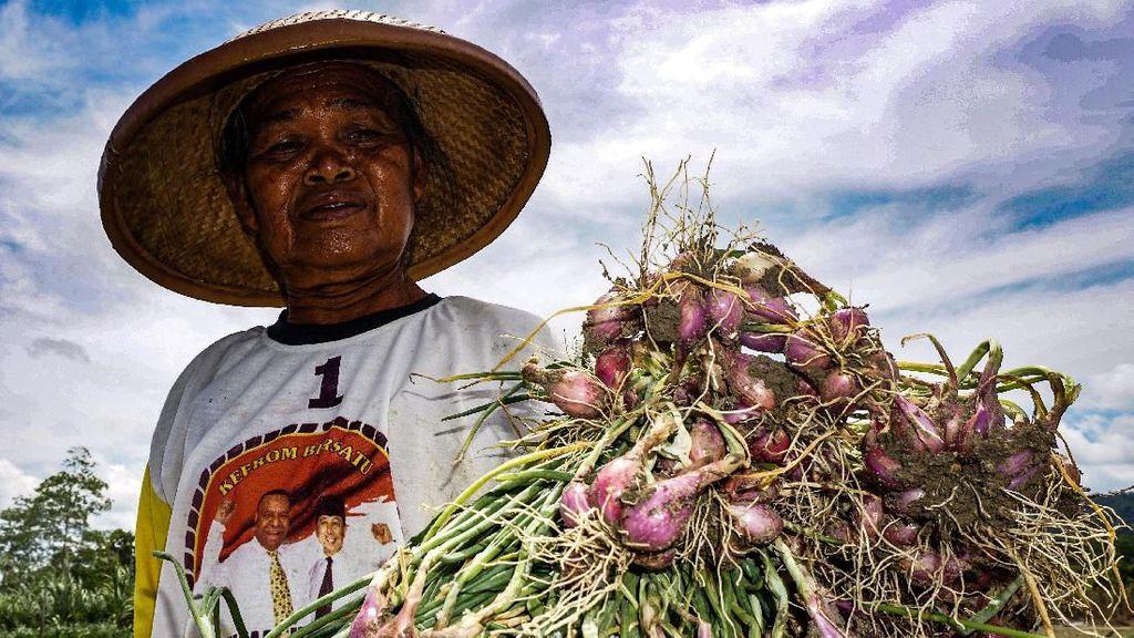Melihat Panen Bawang Merah di Arsopura, Papua