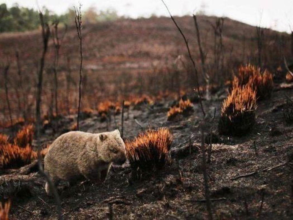 Mengapa Wombat Dianggap Sebagai Pahlawan Kebakaran Hutan Australia?