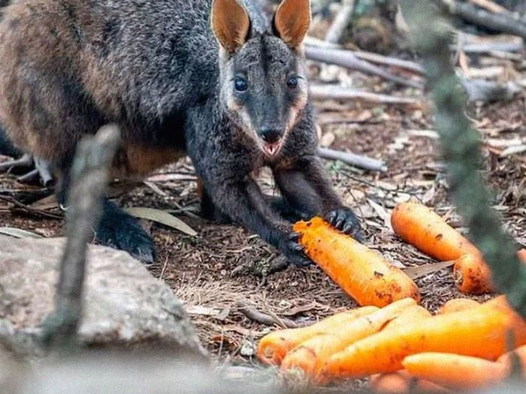 Potret Bahagia Walabi Australia Ketika Dapat Bantuan Makanan