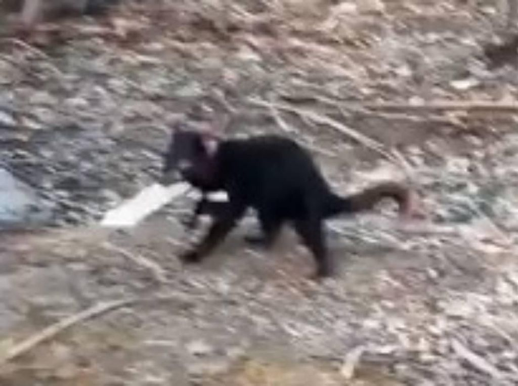 Waduh, Ada Tasmanian Devil Maling Cokelat