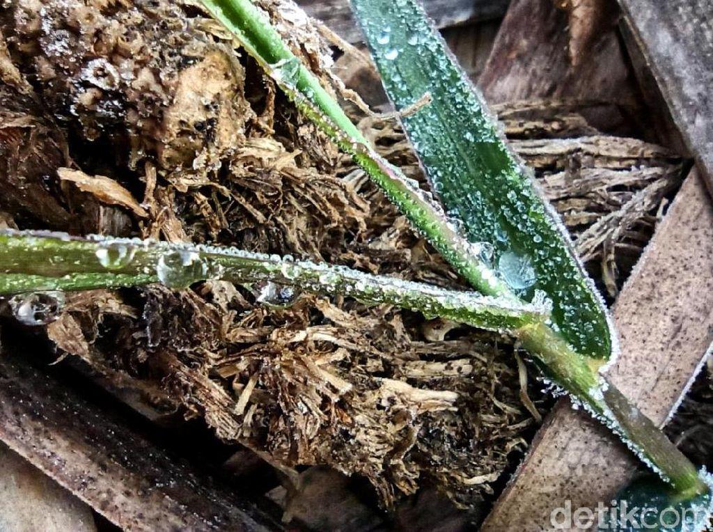 Fenomena Langka! Embun Es Selimuti Dieng di Awal Tahun