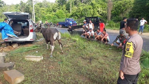 Mobil Angkut Sapi Curian Kecelakaan di Konawe Selatan, Sopir Kabur