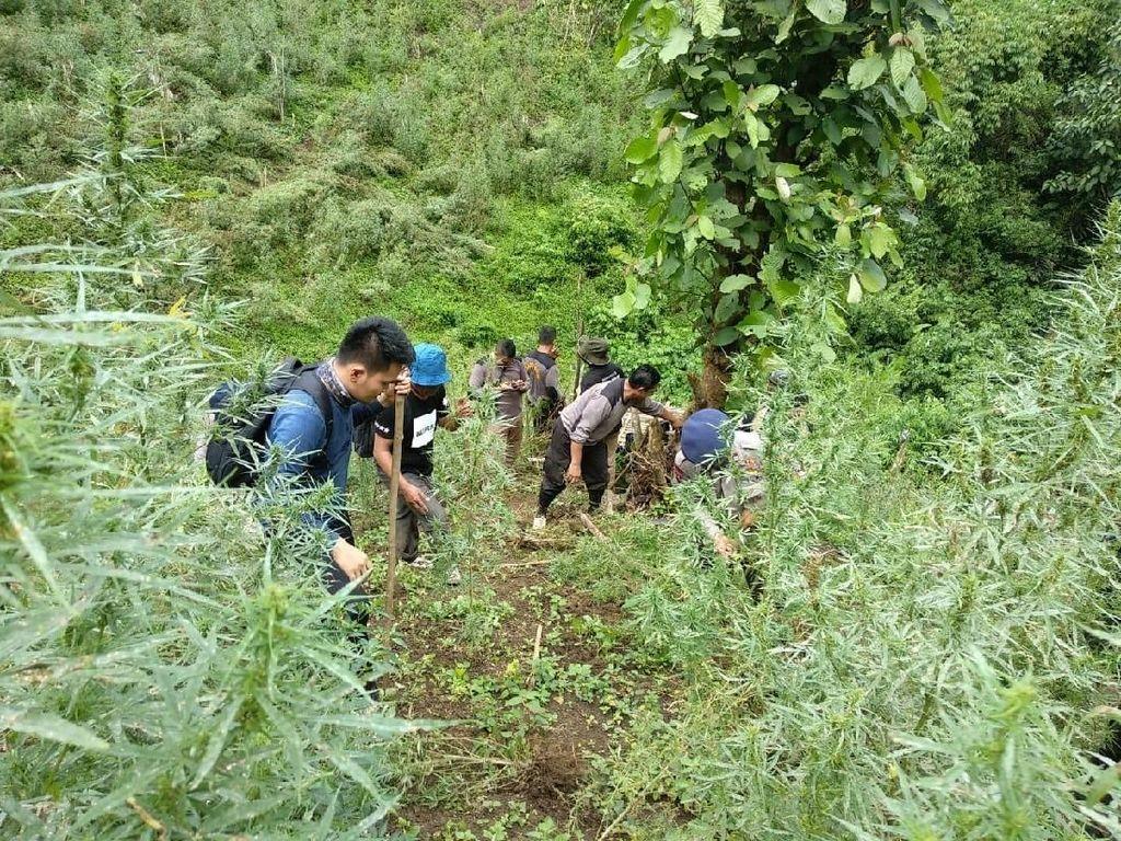 Seorang Polisi Terperosok ke Jurang Saat Bongkar 5 Ha Ladang Ganja di Sumut