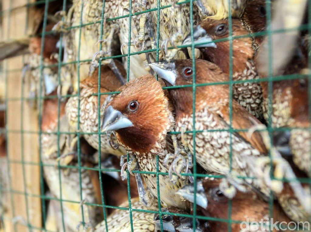 Heboh Berjatuhan di Bali, Apa Beda Burung Pipit dan Burung Gereja?