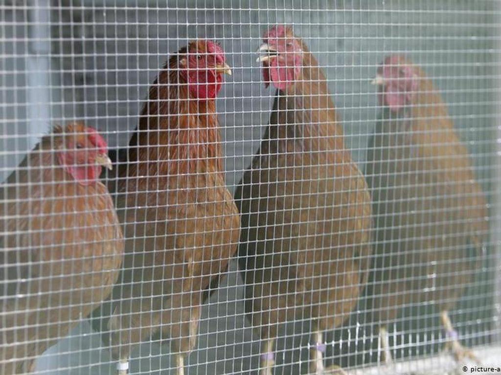 Kondisi Serius, Korsel Konfirmasi Wabah Flu Burung H5N8