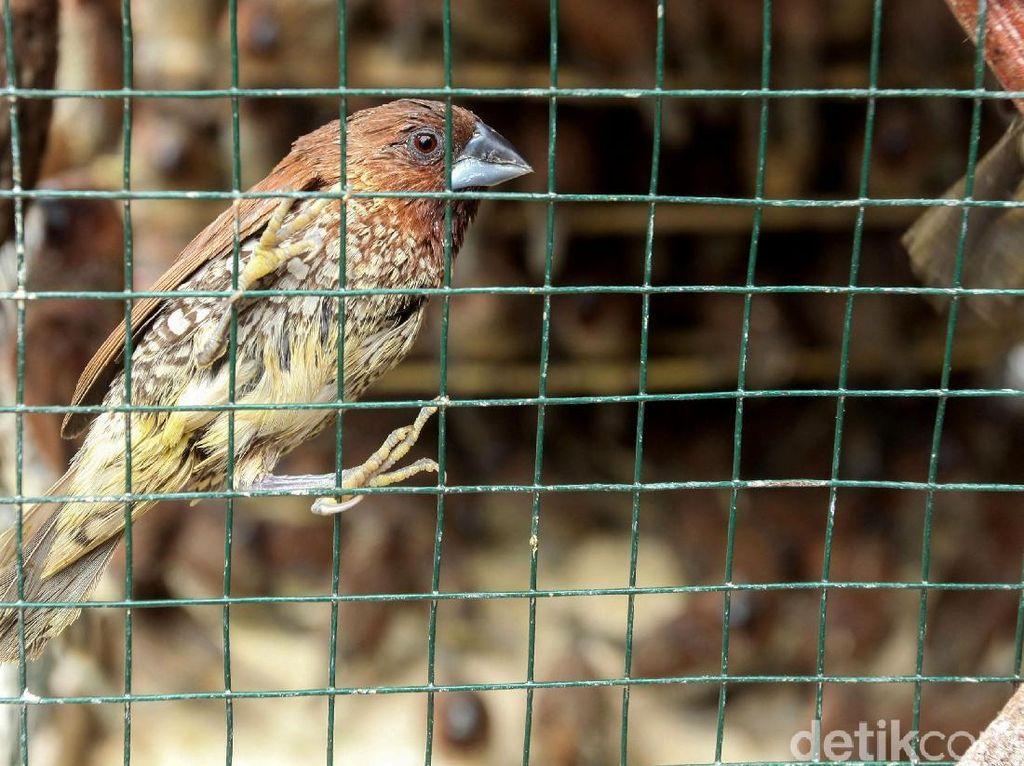 Rencana Basmi Burung Pipit-Anggaran Jaring Rp 140 Juta di Sleman Disorot