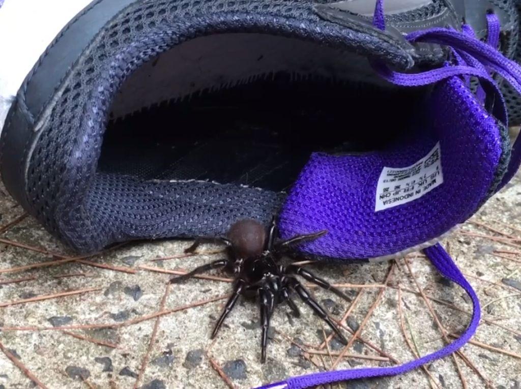Fakta tentang Laba-laba Paling Beracun di Dunia yang Mengancam Australia