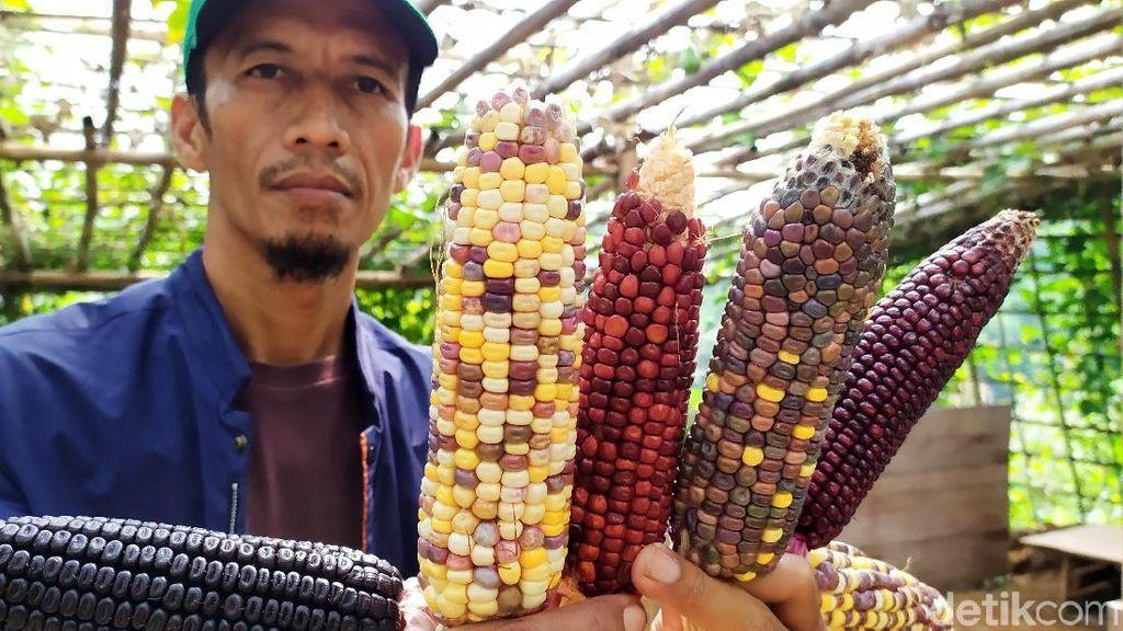 Warna-warni Jagung Pelangi Khas Cianjur