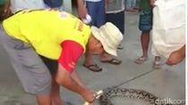 Warga Blitar Tangkap Sanca Pemangsa Ternak Lagi, Panjangnya 5 Meter