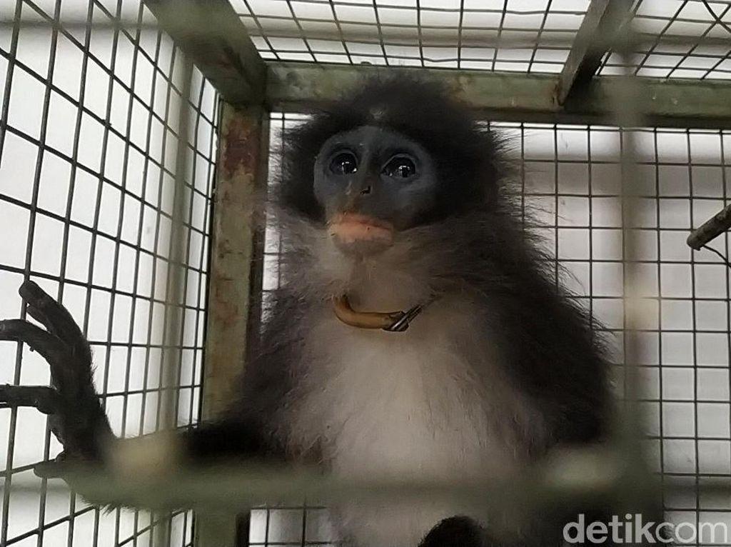 Cerita Penangkapan Monyet Surili yang Disangka Siluman di Cianjur