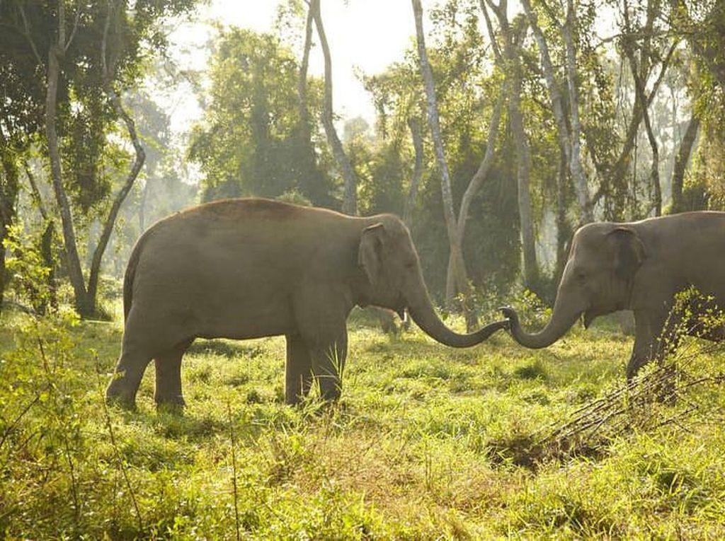 Video Gajah Dimutilasi Warga di Riau