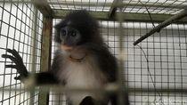 Ini Dia Monyet Surili yang Sempat Disangka Siluman di Cianjur