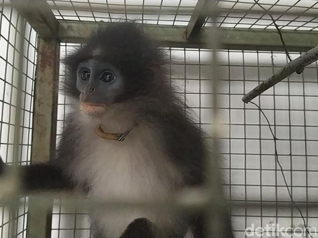 Monyet Surili Siluman di Cianjur Diduga Peliharaan yang Dilepas Pemiliknya