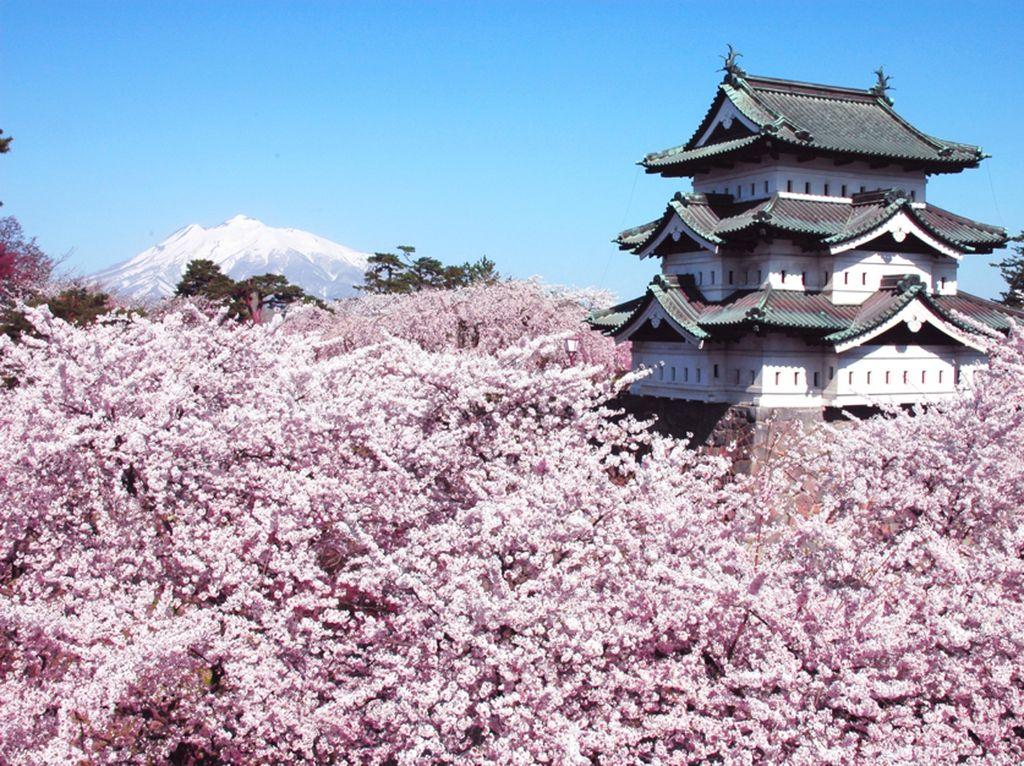 Ingin Melihat Indahnya Sakura? Coba Berkunjung ke Tohoku Mulai April