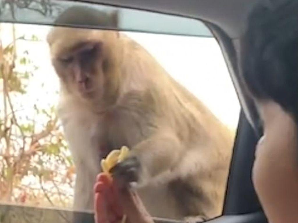 Dasar Monyet! Pisang Ditepis, eh Snack Langsung Diembat