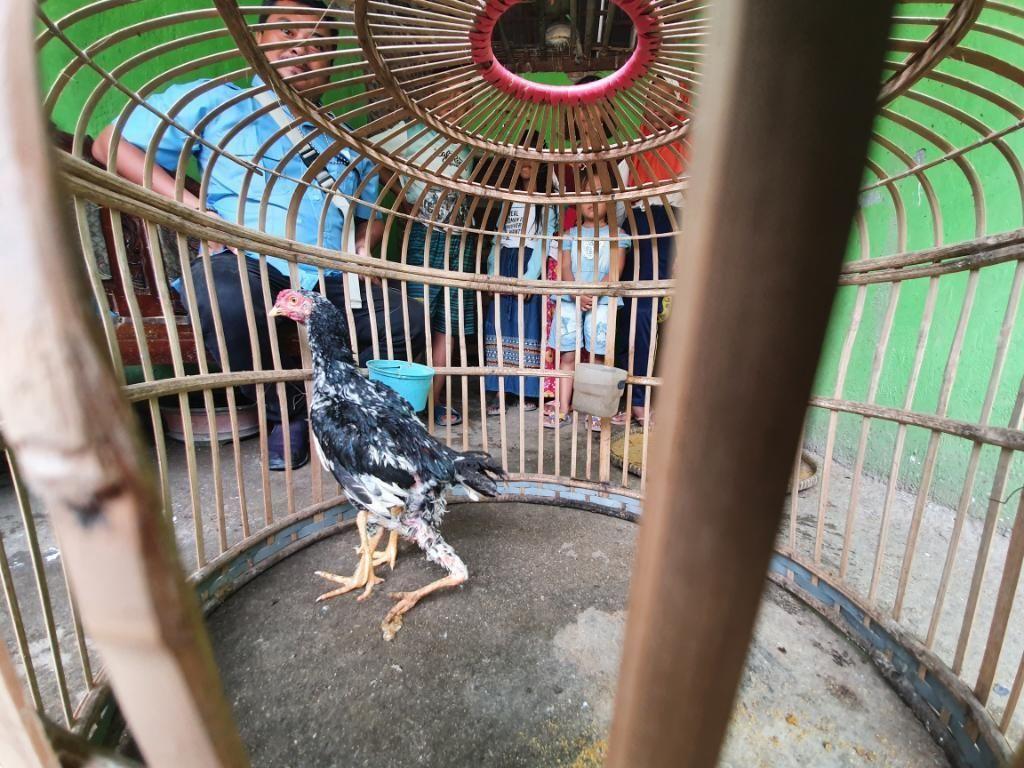 Unik! Ada Ayam Berkaki 4 di Bekasi, Diberi Nama Siliwangi