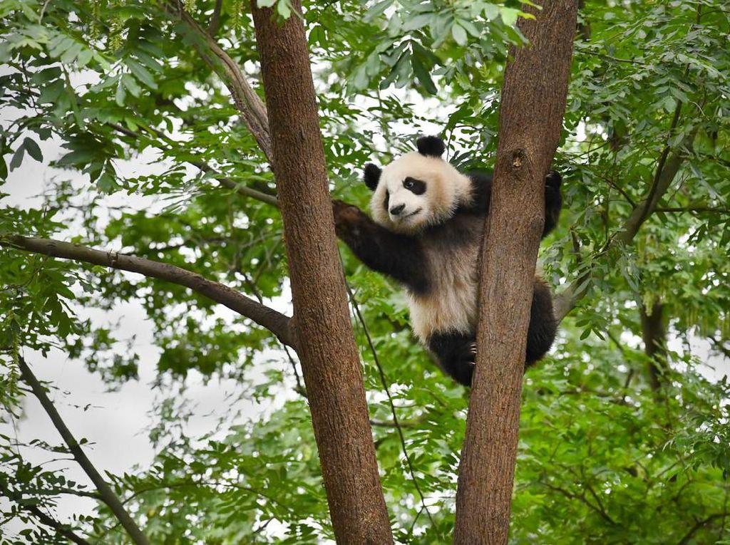 Panda China Jadi Superstar di Kebun Binatang Moskow di Tengah Pandemi