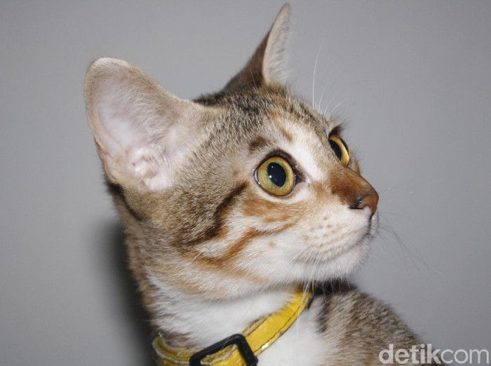 Ilustrasi kucing domestik, Yogyakarta.