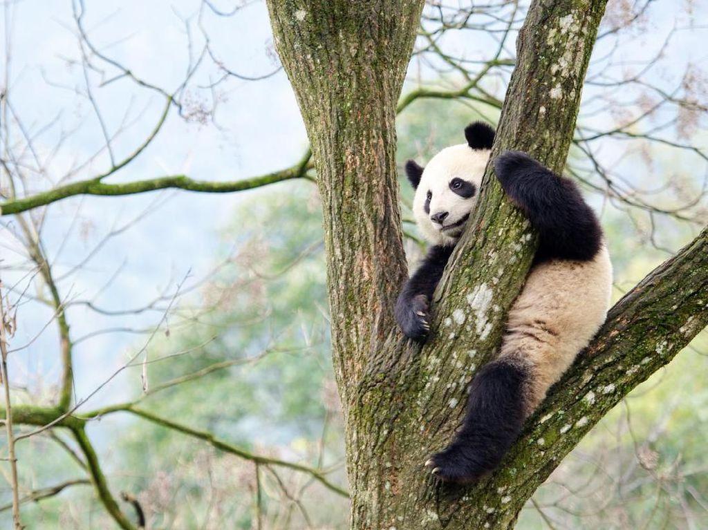 Giant Panda di Inggris Terpaksa Mudik ke China karena Krisis Finansial