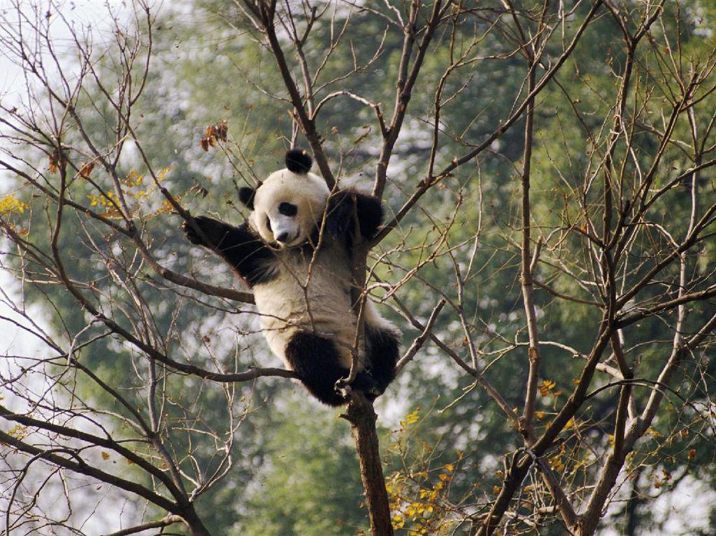 Potret Panda-panda yang Menggemaskan di China