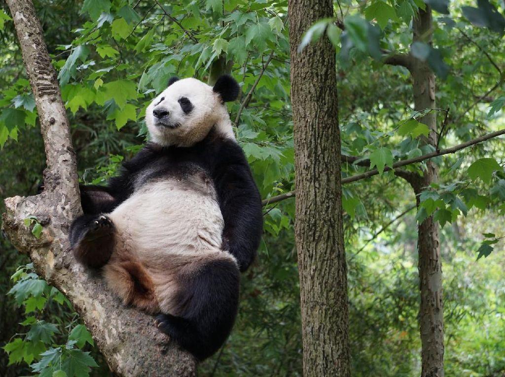Tugas Perawat Giant Panda Tak Mudah, Harus Belajar ke China