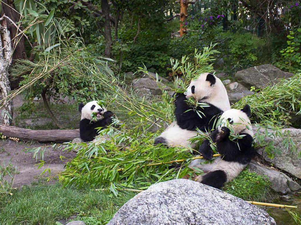Perilaku Giant Panda yang Mirip Manusia, Apa Itu?