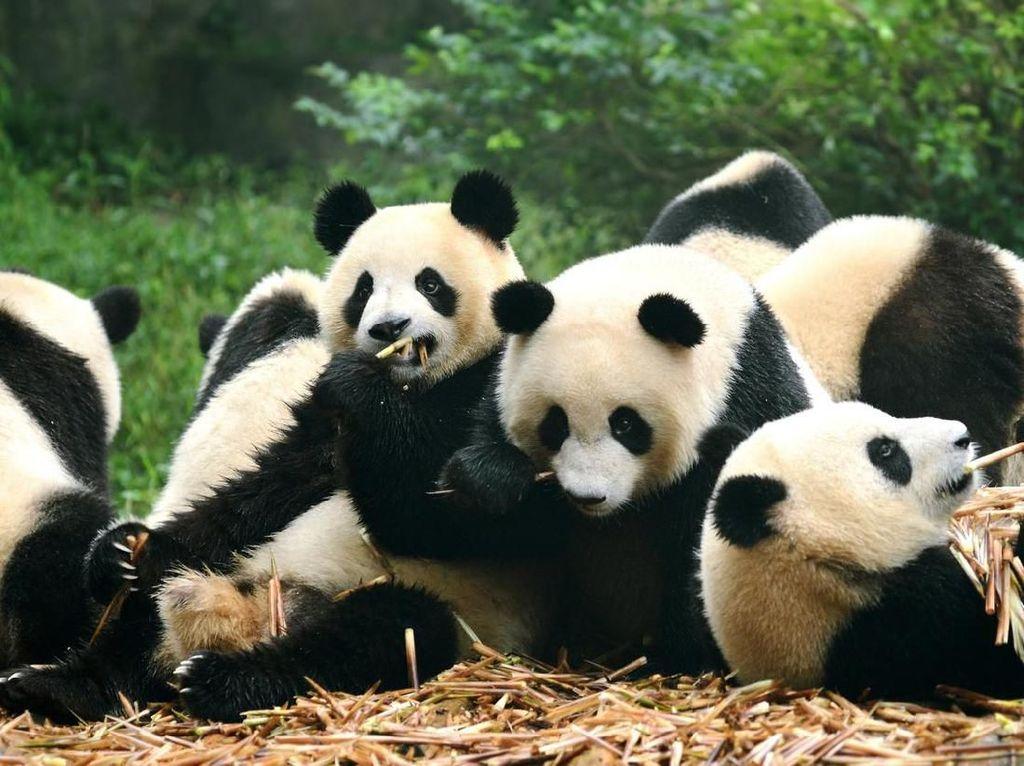Imbas Corona, Kanada Pulangkan 2 Panda ke China