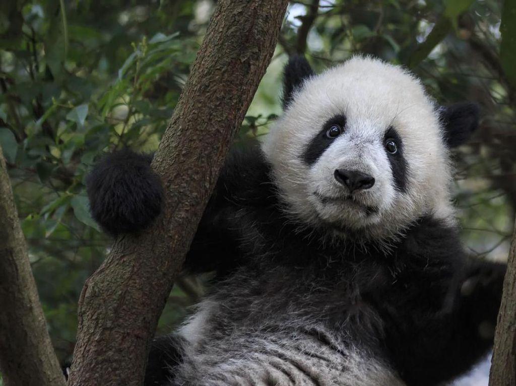 Virus Corona Vs Panda China yang Menggemaskan
