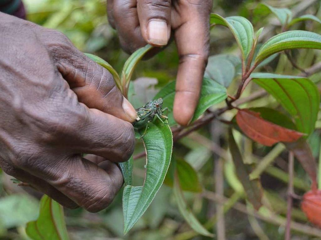 Serangga Vampire, Kuliner Ekstrem dari Papua