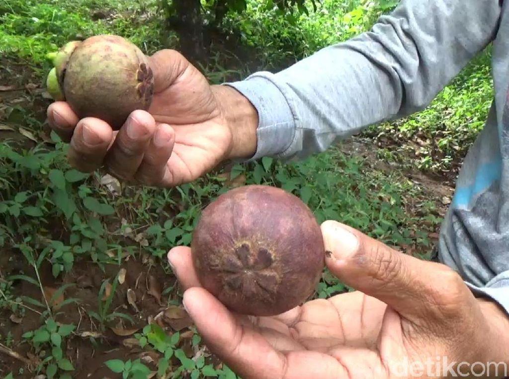 Virus Corona Merajalela, Ekspor Manggis ke China Ditunda
