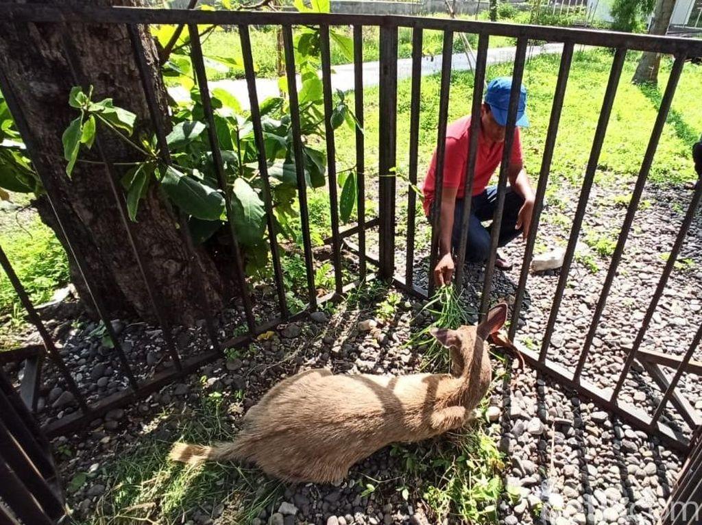 Seekor Kijang yang Diduga Berenang dari Bali Tertangkap di Banyuwangi