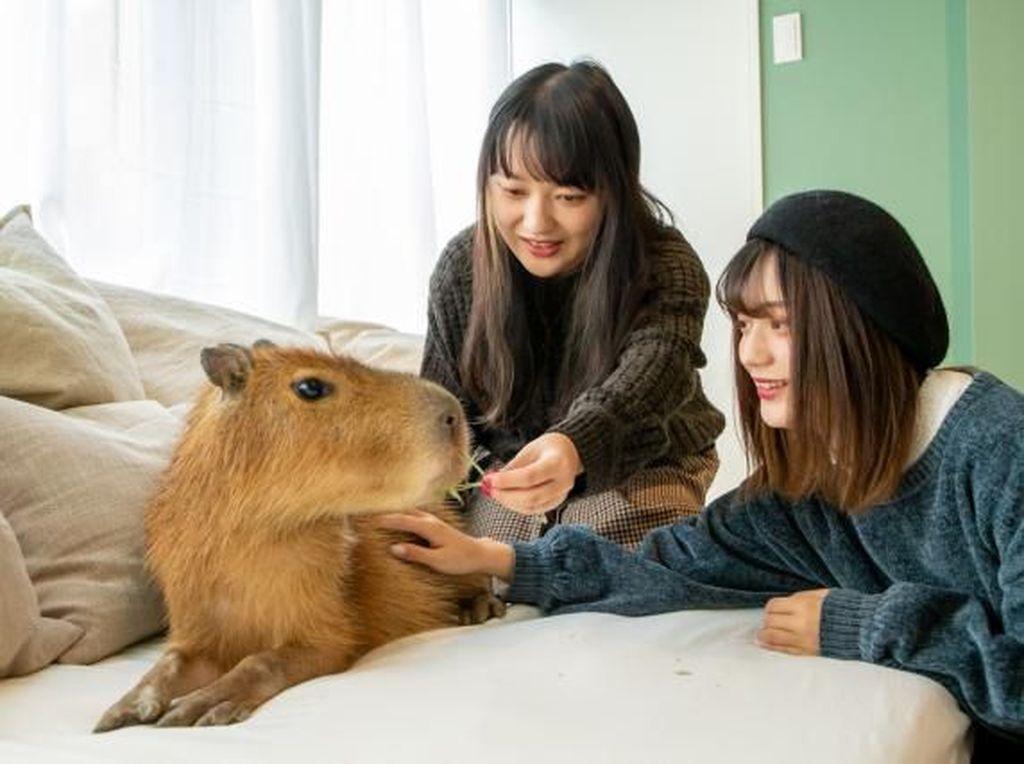 Kafe Jepang Tempat Nongkrong Bareng Capybara dan Kucing