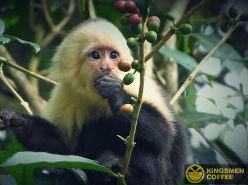 Kopi Gajah hingga Monyet, 5 Kopi Fermentasi Hewan yang Nikmat