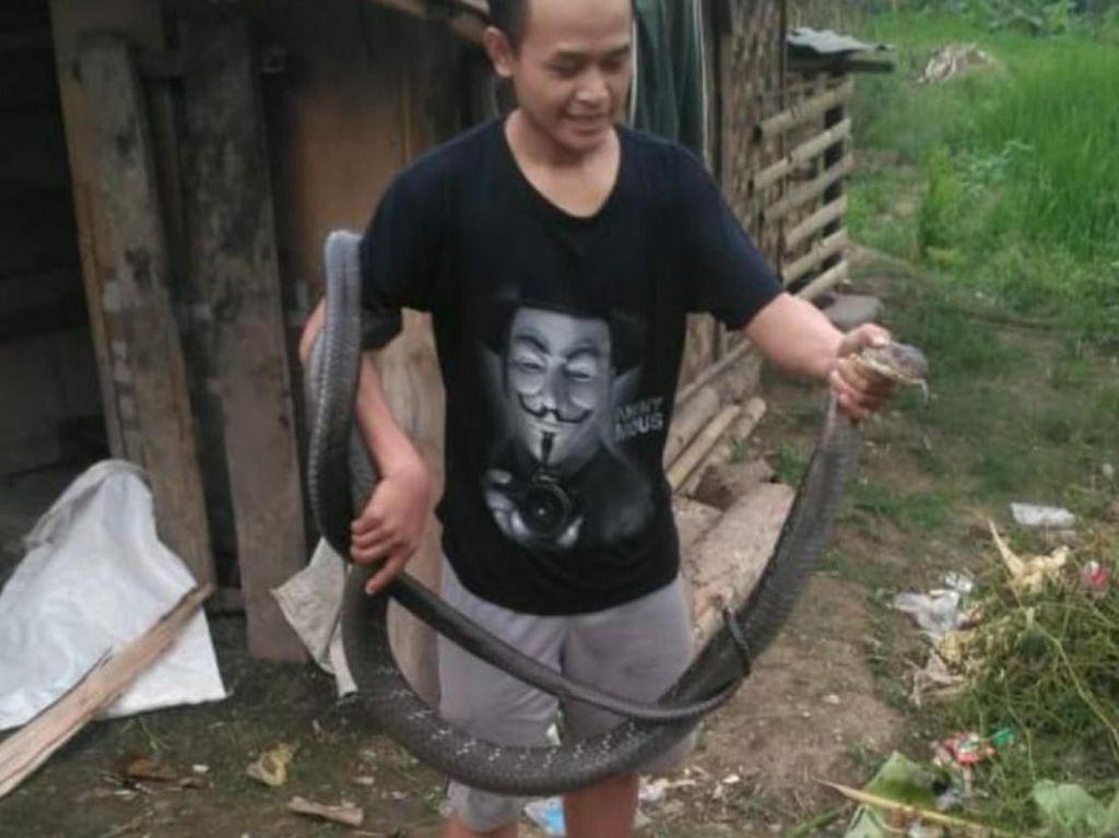 Berbekal Tutorial YouTube, Pria Cianjur Berani Tangkap King Cobra