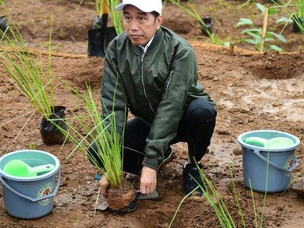 Vetiver Andalan Jokowi, Rumput dengan Kekuatan 1/6 Kawat Baja Pencegah Longsor