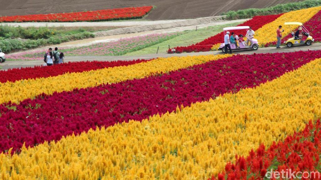 Hamparan Kebun Bunga Cantik di Hokkaido Jepang