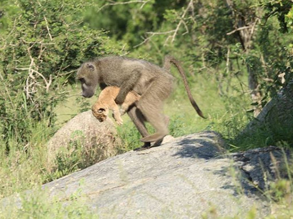 Heboh Simba dan Rafiki The Lion King di Dunia Nyata