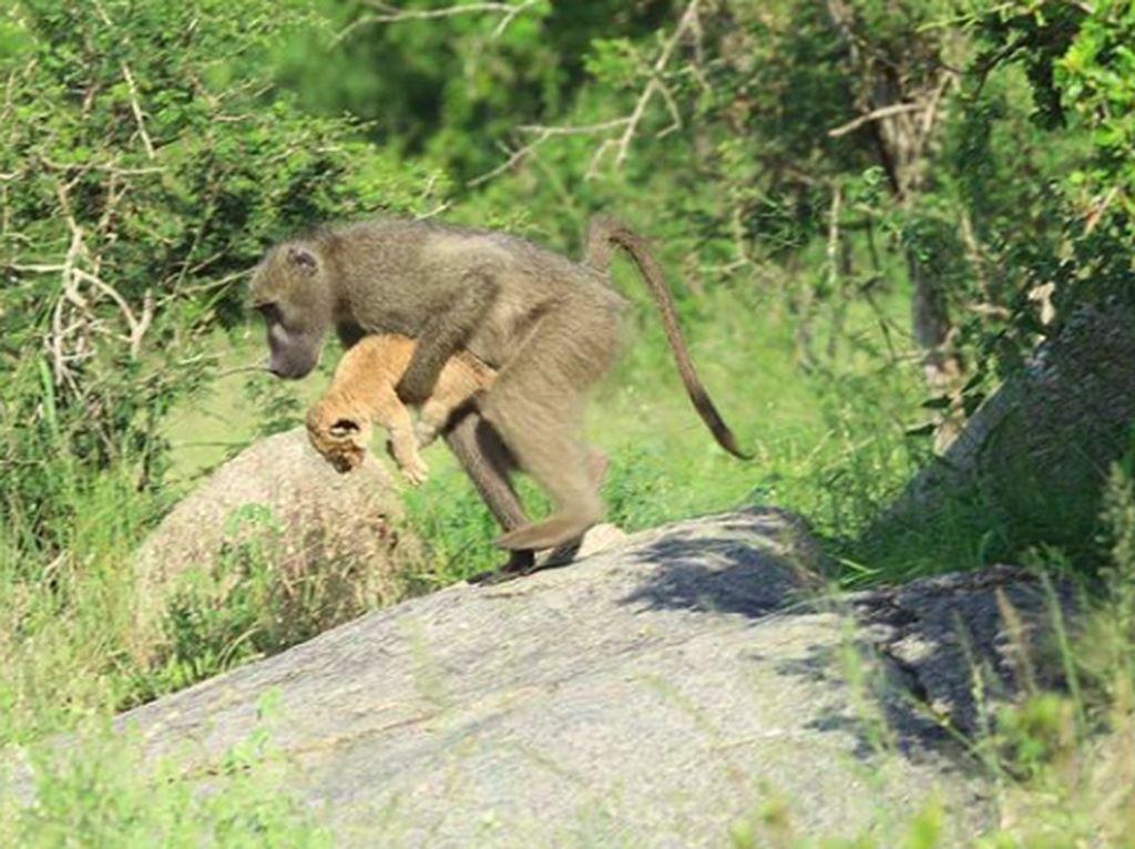 Duh, Babon Culik Bayi Singa di Afrika