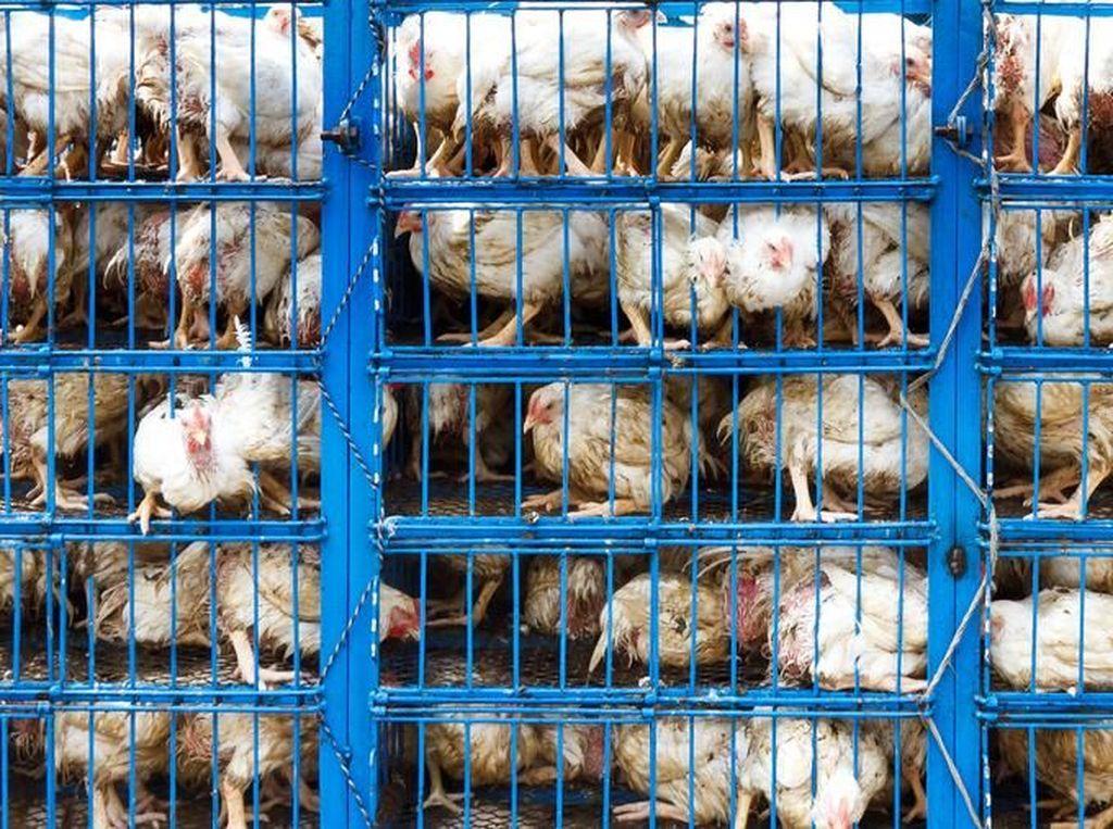 Hewan yang Diimpor dari China Wajib Dikembalikan atau Dimusnahkan