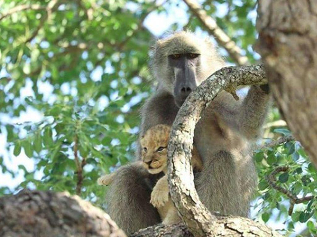 Posesif! Potret Babon Culik Bayi Singa di Afrika