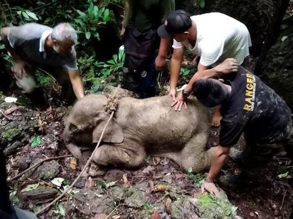 Kena Jerat Hingga Sulit Makan, Anak Gajah di Aceh Timur Mati